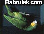 мертвый попугай