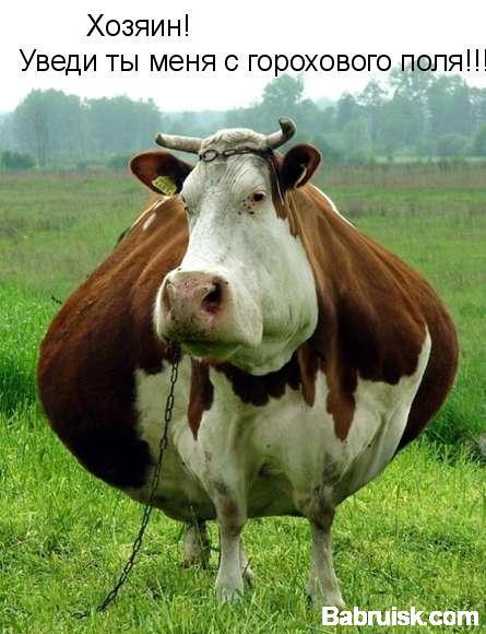 жирная корова