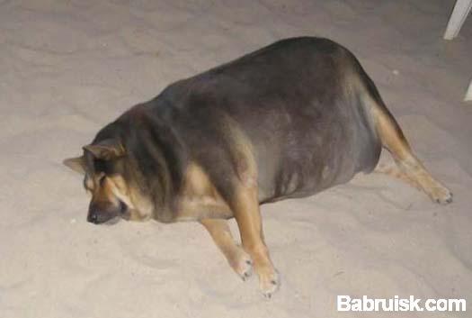толстая собака