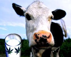 корова и конопля