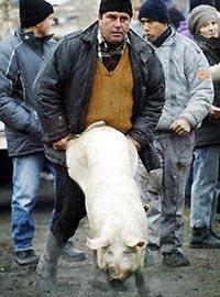 свиньи и люди, сцуко...