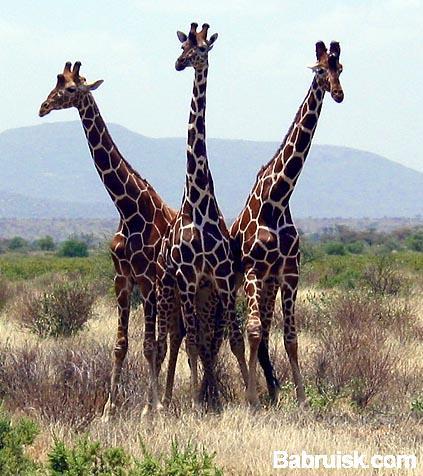жираф горыныч