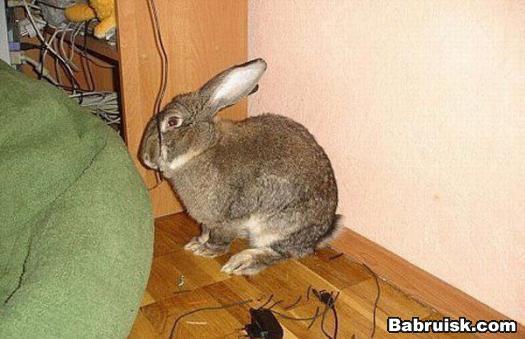 админовский кролик