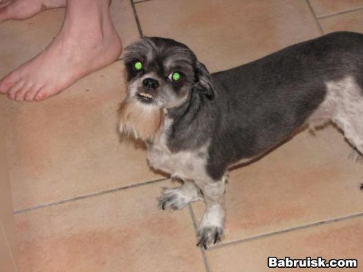 бородатая собака