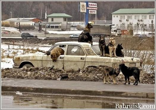 собаки на машине