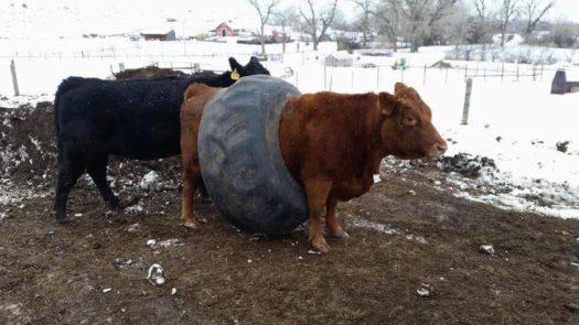 корова в шине