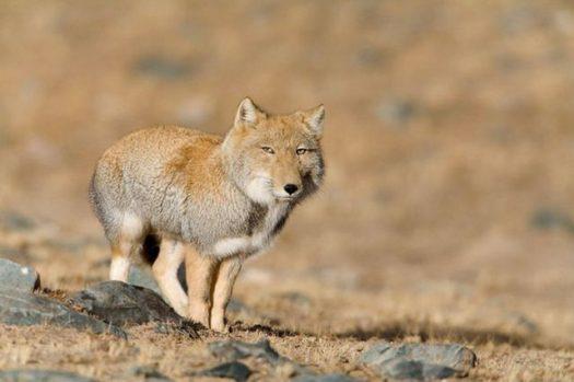 хитрая лисичка