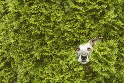 пес в кустах