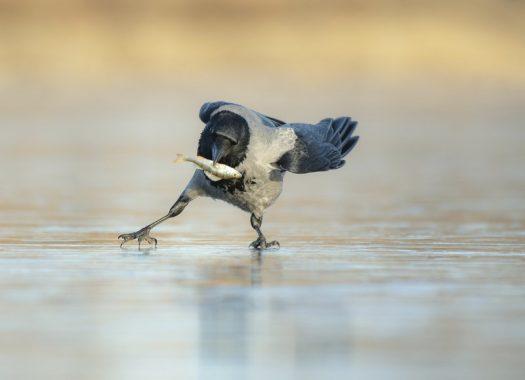 ворона на льду с рыбой в клюве