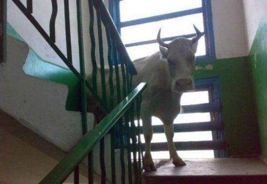 корова на лестнице