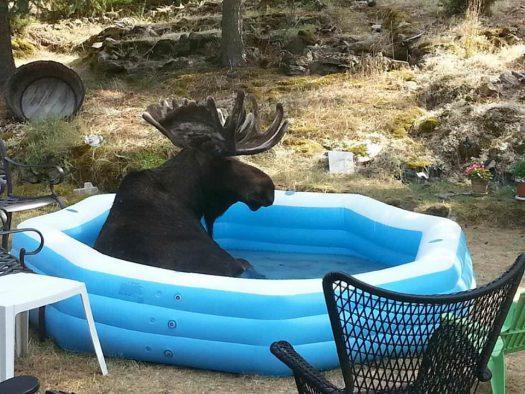 лось в бассейне